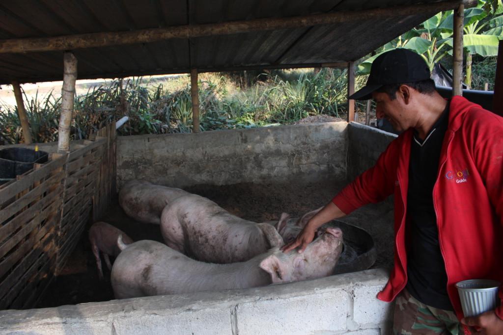 De momento, Luis Alberto cría cuatro cerdos de raza fina.