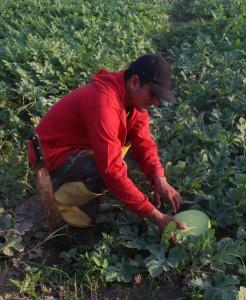 Las sandías de Luis Alberto están casi listas para ser cosechadas. Él está contento con los resultados de esta primera siembra.