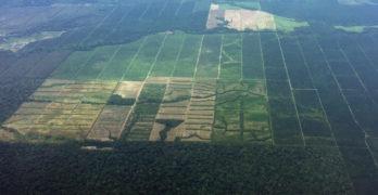 Palma africana: una amenaza para la Amazonía de Ecuador
