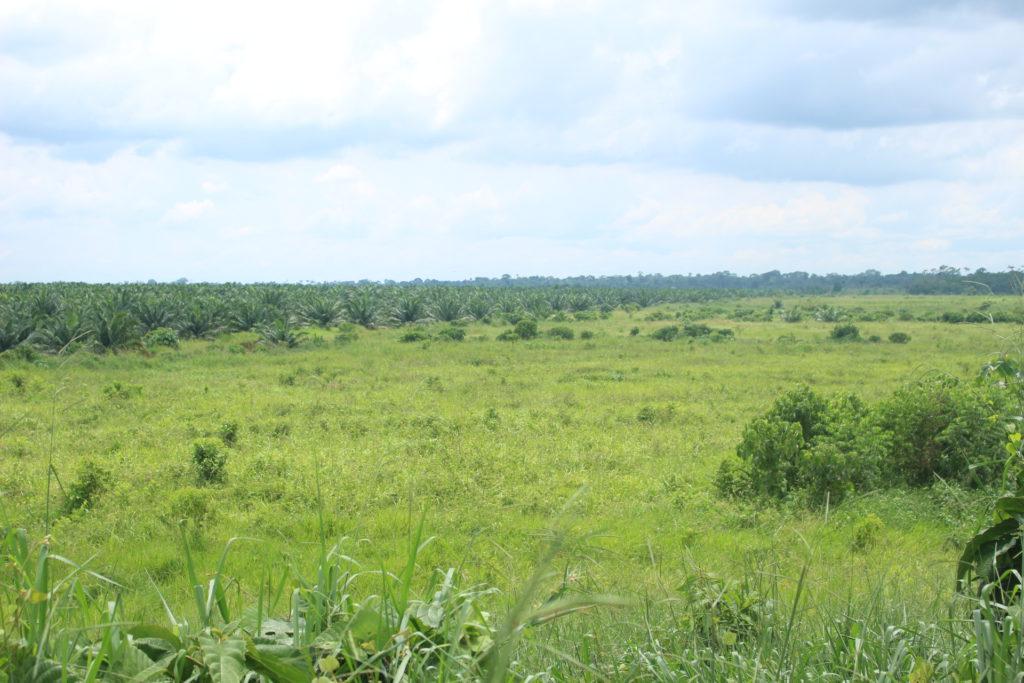 Plantaciones recientes de palma en la parroquia Nuevo Paraíso. Foto: Daniela Aguilar.