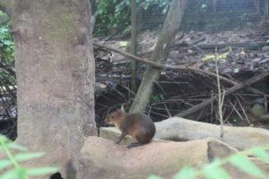 Animales silvestres como la guatusa viven en el Zoológico de Orellana. Foto: Daniela Aguilar