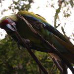 Papagayo de Guayaquil: el ave emblema de la ciudad bajo amenaza