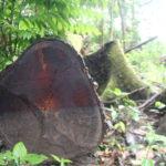 Alerta en el Yasuní: la tala ilegal amenaza a pueblos en aislamiento