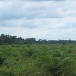 La palma africana se apodera silenciosamente de Ecuador