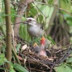 Así se salvó de la extinción esta endémica ave